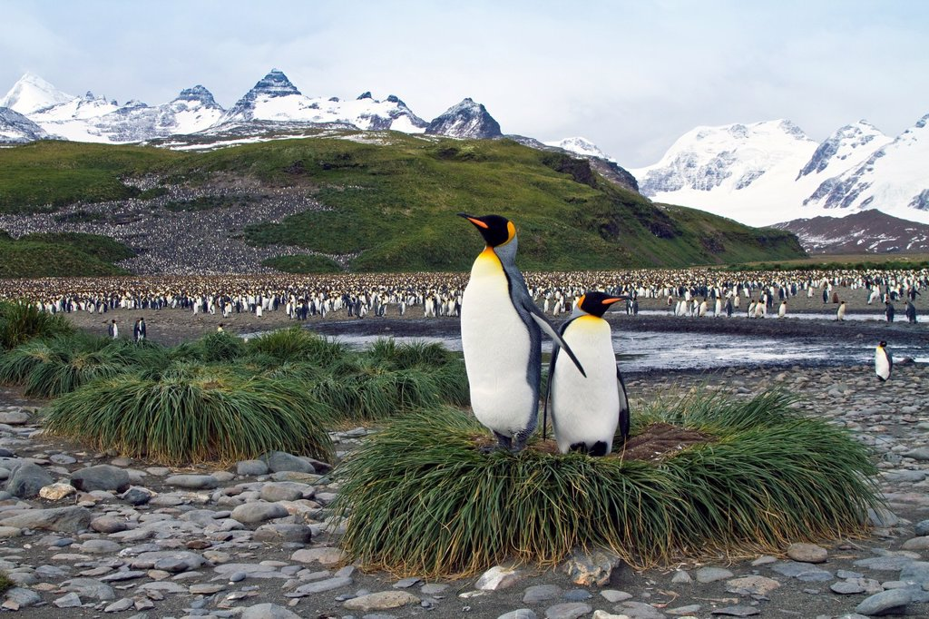 King penguin Aptenodytes patagonicus breeding and nesting colony at Salisbury Plains, Bay of Isles on South Georgia Island, Southern Ocean  MORE INFO The king penguin is the second largest species of penguin at about 90 cm 3 ft tall and weighing 11 to 16 : Stock Photo