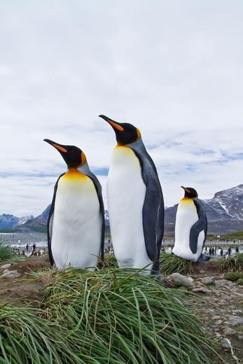 Stock Photo: 1566-686865 King penguin courtship behavior Aptenodytes patagonicus at the breeding and nesting colony at Salisbury Plains, Bay of Isles on South Georgia Island, Southern Ocean  MORE INFO The king penguin is the second largest species of penguin at about 90 cm 3 ft t