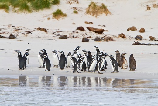 Magellanic penguins Spheniscus magellanicus on the beach at a breeding and molting site on Carcass Island, Falkland Islands, South Atlantic  MORE INFO Magellanic penguin nests are built under bushes or in burrows  Two eggs are laid  Magellanic penguins ma : Stock Photo