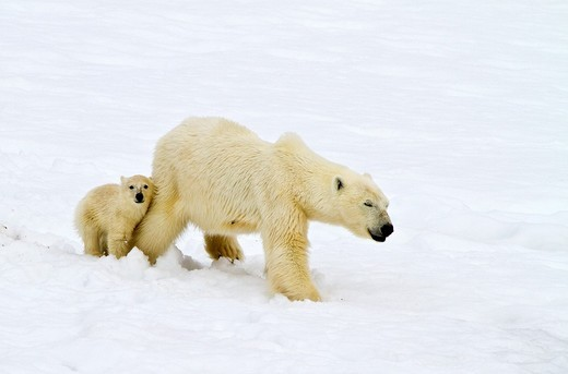 Mother polar bear Ursus maritimus with COY cub-of-year in Holmabukta on the northwest coast of Spitsbergen in the Svalbard Archipelago, Norway  MORE INFO The IUCN now lists global warming as the most significant threat to the polar bear, primarily because : Stock Photo