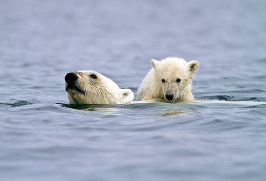 Mother polar bear Ursus maritimus swimming with COY cub-of-year on her back getting a free ride in Holmabukta on the northwest coast of Spitsbergen in the Svalbard Archipelago, Norway  MORE INFO The IUCN now lists global warming as the most significant th : Stock Photo