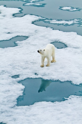 Stock Photo: 1566-687289 Young curious female polar bear Ursus maritimus approaches the Lindblad Expedition ship National Geographic Explorer on fast ice near Hinlopen Strait off the eastern coast of Spitsbergen in the Svalbard Archipelago, Norway  MORE INFO The IUCN now lists gl