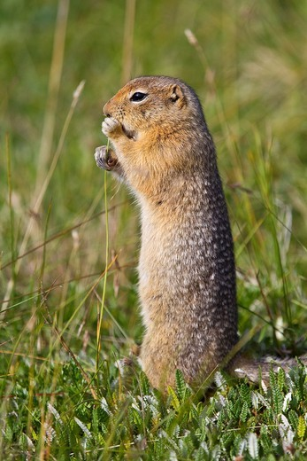 Stock Photo: 1566-687331 Adult Arctic ground squirrel Spermophilus parryii foraging in Denali National Park, Alaska, USA  MORE INFO During hibernation, the body temperature of the Arctic ground squirrel drops from 98 68 F to 26 48 Fthat´s below the freezing point of water and is