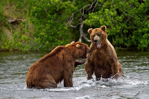 Adult brown bears Ursus arctos disputing fishing rights for salmon at the Brooks River in Katmai National Park near Bristol Bay, Alaska, USA  Pacific Ocean  MORE INFO Every July salmon spawn in the river between Naknek Lake and Brooks Lake and brown bears : Stock Photo