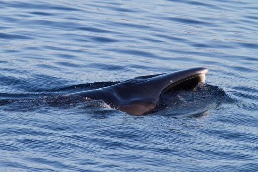 Adult Bryde´s whale Balaenoptera edeni surface skim feeding on euphausids off Isla del Carmen in the southern Gulf of California Sea of Cortez, Baja California Sur, Mexico  MORE INFO Bryde´s whales are the least known of the large baleen whales, yet perha : Stock Photo