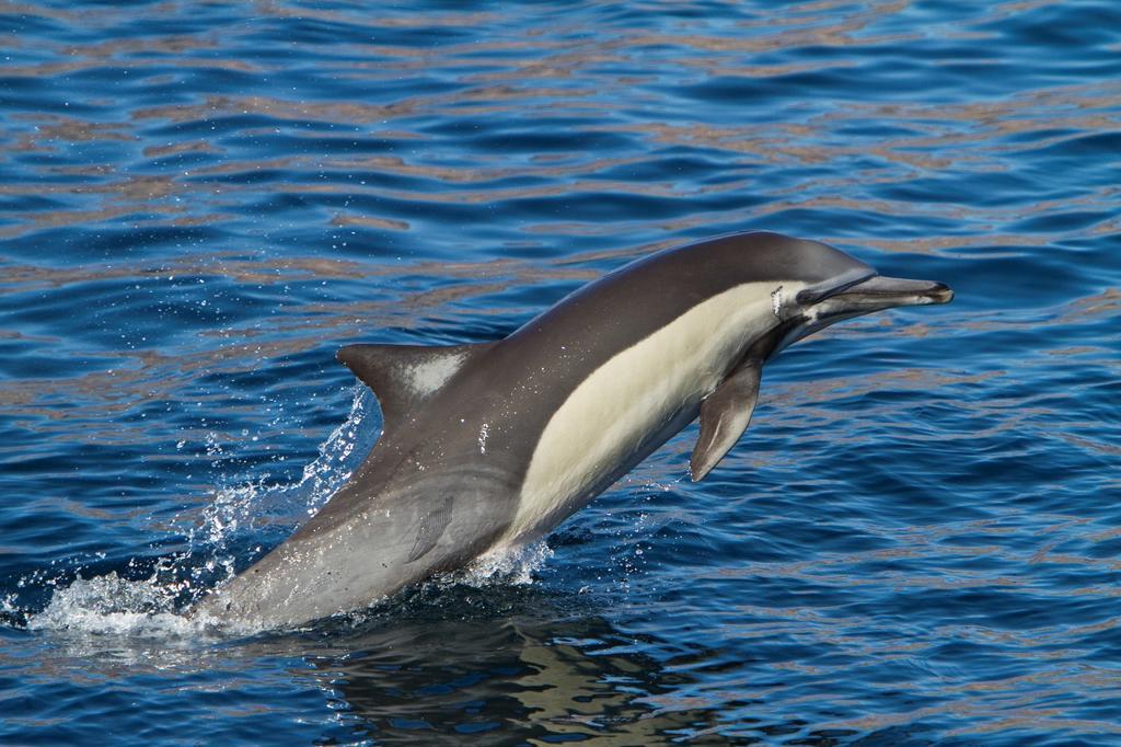 Stock Photo: 1566-687482 Long-beaked common dolphin pod Delphinus capensis encountered off Isla del Carmen within the Parque Nacional Bahia de Loreto Loreto Bay National Park in the southern Gulf of California Sea of Cortez, Baja California Sur, Mexico  MORE INFO The long-beaked