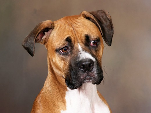 Boxer: breed of dog : Stock Photo