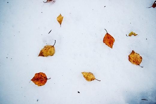 Cambio de estación de otoño a invierno, hojas en la nieve : Stock Photo