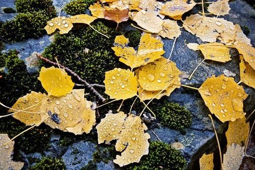 detalle de las gotas y hojas amarillas en dia lluvioso : Stock Photo