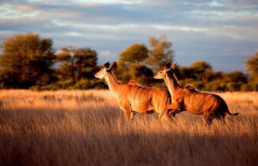 Greater kudu Tragelaphus strepsiceros, running, Kruger National Park, South Africa : Stock Photo