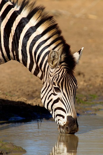 Stock Photo: 1566-689384 Plains zebra Burchell´s zebra, in the waterhole, Kruger National Park, South Africa