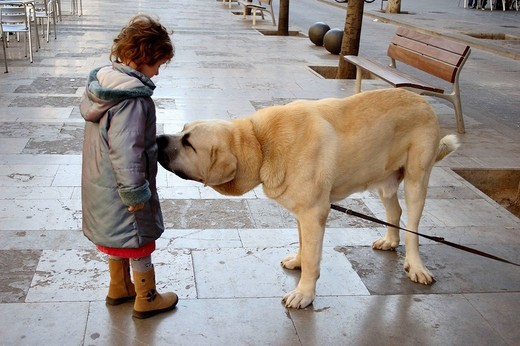 6 year old girl with Spanish mastiff. : Stock Photo