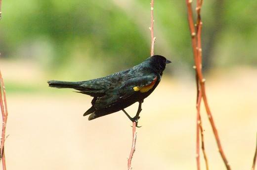Red-Winged Blackbird : Stock Photo
