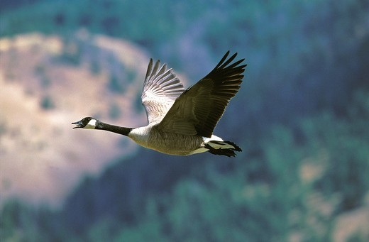CANADA GOOSE branta canadensis, ADULT FLYING, CANADA : Stock Photo