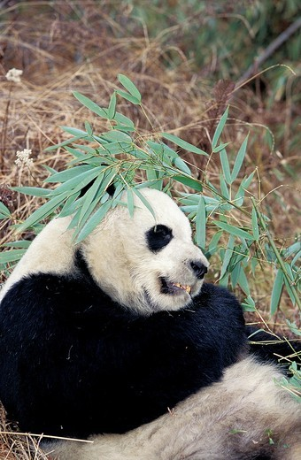 GIANT PANDA ailuropoda melanoleuca, WOLONG RESERVE IN CHINA : Stock Photo
