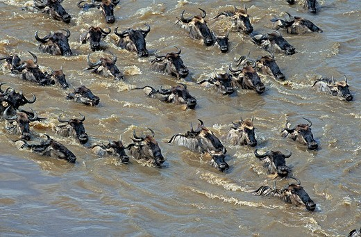 BLUE WILDEBEEST connochaetes taurinus, HERD CROSSING MARA RIVER DURING MIGRATION, MASAI MARA PARK IN KENYA : Stock Photo