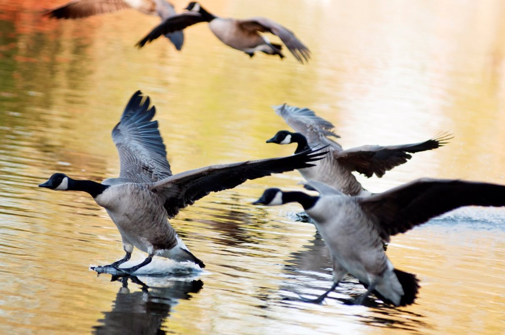 Stock Photo: 1566-693480 Canada geese land on the lake with Autumn colours reflecting in the water  West Midlands, UK