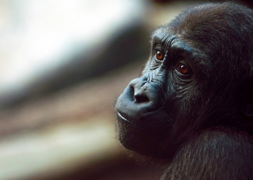 Melancholy Silverback Gorilla : Stock Photo