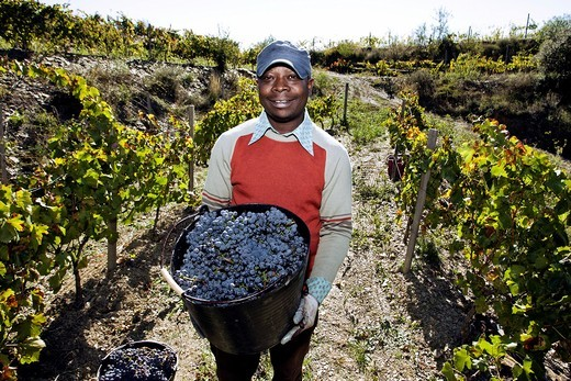 African man holding a bucket full of grapes that he has picked from a vineyard in the Priorat wine region of Catalonia, Spain : Stock Photo
