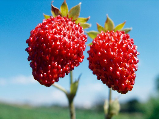 Stock Photo: 1566-694146 Couple of wild strawberries
