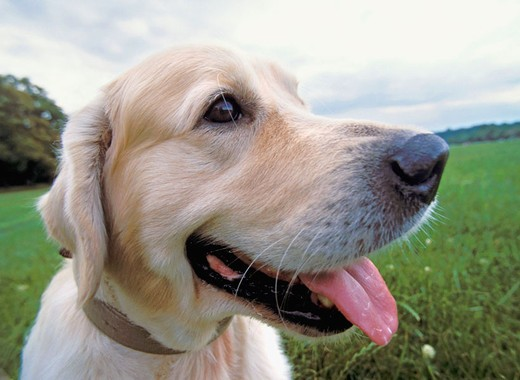 Stock Photo: 1566-694178 Golden Retriever dog portrait