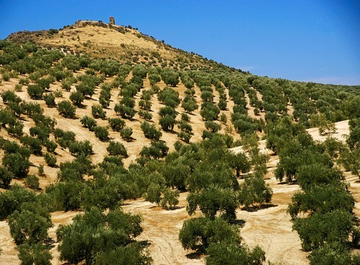 Olive trees landscape near Fuente Tojar, Cordoba province, Andalusia, Spain : Stock Photo