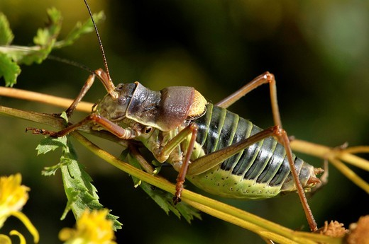 Insect. Grasshopper, Ephippiger sp. Fam. Tettigoniidae. Osseja. Languedoc Roussillon. Pyrénées Orientales. France. : Stock Photo