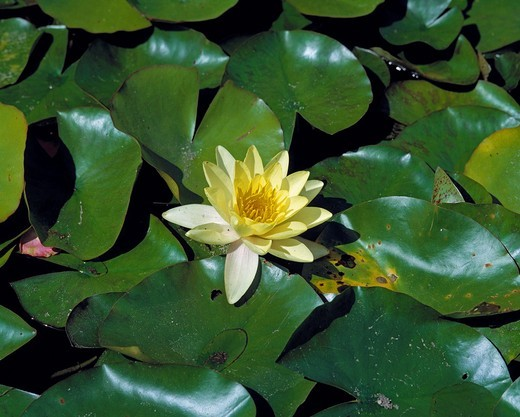 nature, plant life, water plant, White Waterlily, Nymphaea alba : Stock Photo