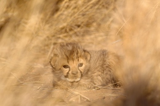 Cheetah Acinonyx jubatus - 19 days old male cub  Photographed in captivity on a farm  Namibia : Stock Photo
