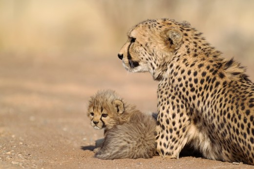 Cheetah Acinonyx jubatus - Resting female with its 40 days old male cub  Photographed in captivity on a farm  Namibia : Stock Photo
