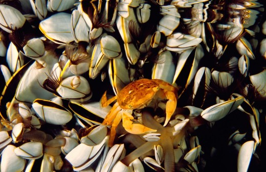 Oceanic crab Pinoferes pinofrese in the middle of Gooseneck barnacle  Atlantic Ocean, Azores, Portugal : Stock Photo