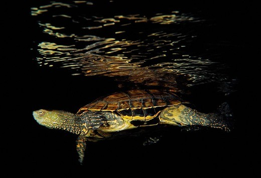 Freshwater Rivers  Mediterranean pond turtle, Maurish turtle, Spanish pond turtle Mauremys leprosa  Galicia, Spain : Stock Photo