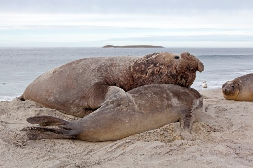 Stock Photo: 1566-710189 Falkland Islands , Sea LIon island , Southern Elephant Seal Mirounga leonina