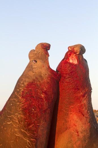 Falkland Islands , Sea LIon island , Southern Elephant Seal  Mirounga leonina : Stock Photo