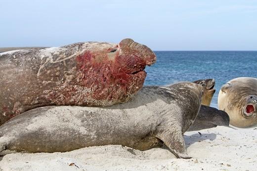 Stock Photo: 1566-710293 Falkland Islands , Sea LIon island , Southern Elephant Seal  Mirounga leonina