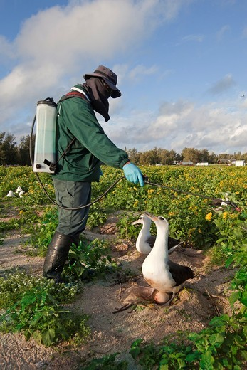 Stock Photo: 1566-710485 Hawaï , Midway , Sand Island , Laysan Albatross ,  Phoebastria immutabilis , surrounded by Golden Crown-beard Verbesina encelioides , The plant is an invasive species that is threatening Albatross breeding areas  Midway Atoll National Wildlife Refuge