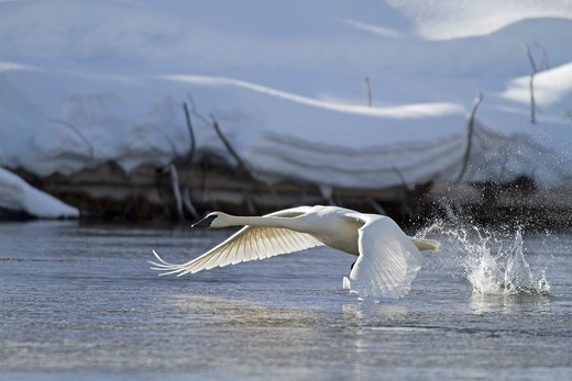 United states , Wyoming-Montana , Yellowstone National Park , Trumpeter Swan  Cygnus buccinator : Stock Photo