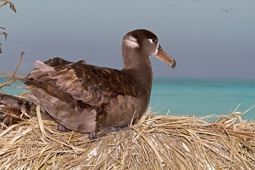 Hawaï , Midway , Sand Island , Black-footed Albatross  Phoebastria nigripes : Stock Photo
