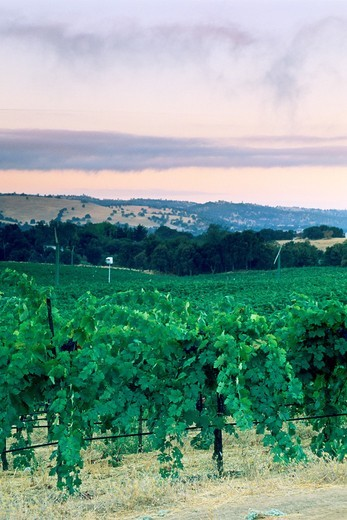 Morning light over vineyards near Plymouth, Shenandoah Valley, Amador County, California : Stock Photo