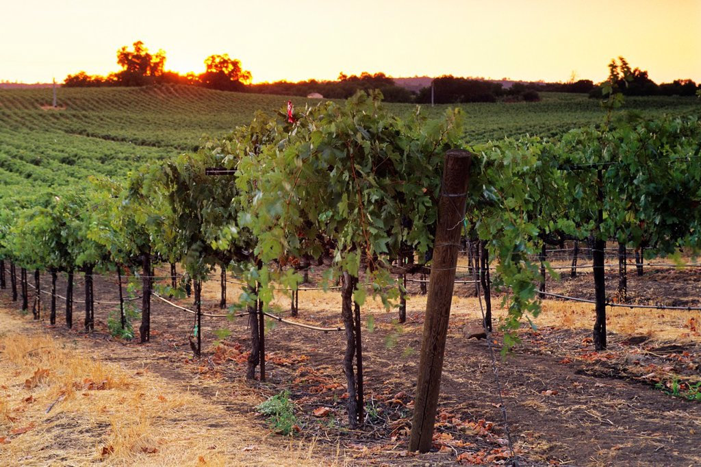 Stock Photo: 1566-712133 Sunset over vineyards near Plymouth, Shenandoah Valley, Amador County, California
