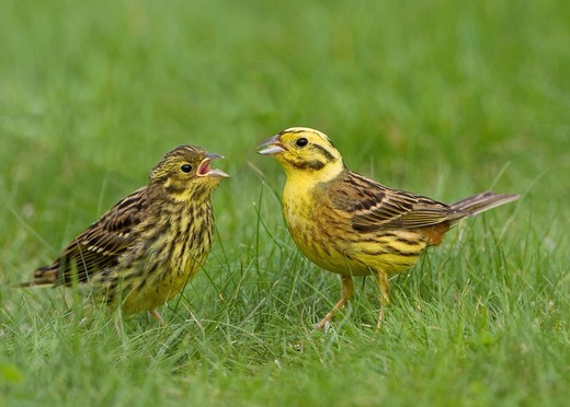 Stock Photo: 1566-713816 Yellowhammer Emberiza citrinella male feeding recently fledged chick  Scotland  July