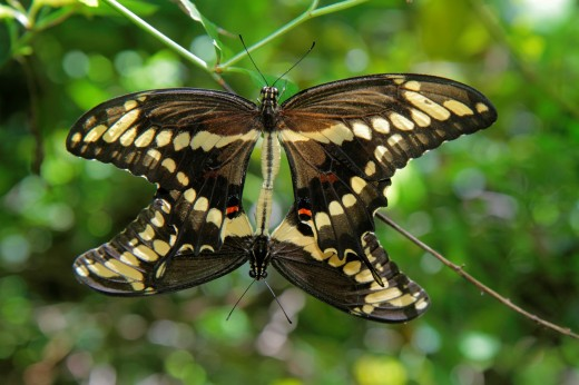 Stock Photo: 1566-714445 Florida, Boca Raton, Gumbo Limbo Environmental Complex and Nature Center, Schaus Swallowtail butterfly, mating, threatened, endangered, species,