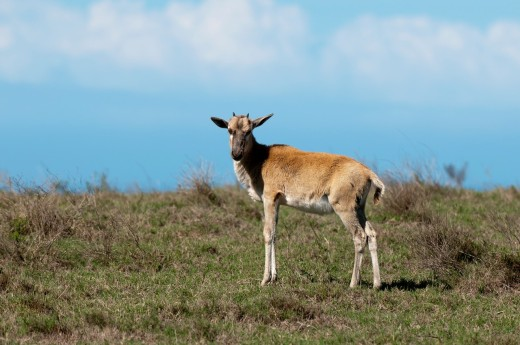 Blesbok Damaliscus dorcas, Kariega Game Reserve, South Africa : Stock Photo
