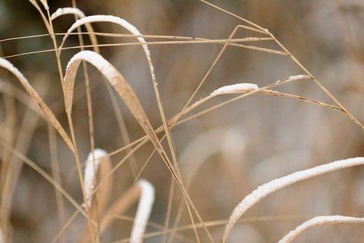 A dusting of snow on dead grasses : Stock Photo
