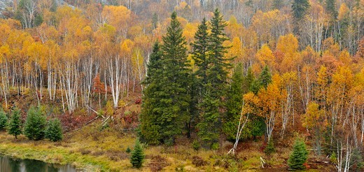 Birches and aspens on a hillside in late autumn, overlooking Junction Creek Greater Sudbury Ontario : Stock Photo