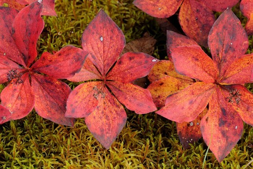 Bunchberry Cornus canadensis leaves in autumn Algonquin Provincial Park, Ontario : Stock Photo