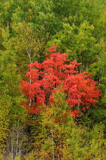A red maple in a forest of birch and aspen Sudbury Ontario : Stock Photo