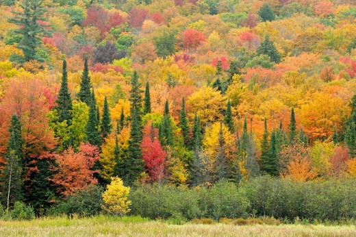 Hillside of maples and spruces Algonquin Provincial Park, Ontario : Stock Photo