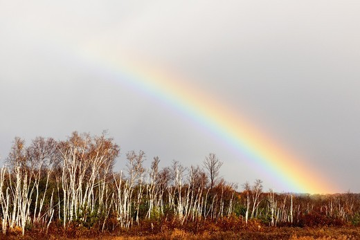 Receding storm clouds and rainbow over a birch woodlot Greater Sudbury Ontario : Stock Photo