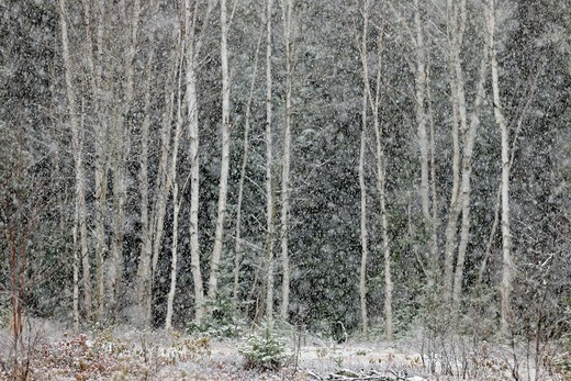 Spruce and birch trees in a snowstorm, at the edge of a meadow Greater Sudbury Ontario : Stock Photo